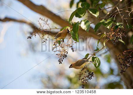 Cedar waxwing, Bombycilla cedrorum, feeding on black berry-like fruit of Cinnamomum Camphora tree.
