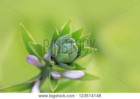 Purple bell flower bud close up shot