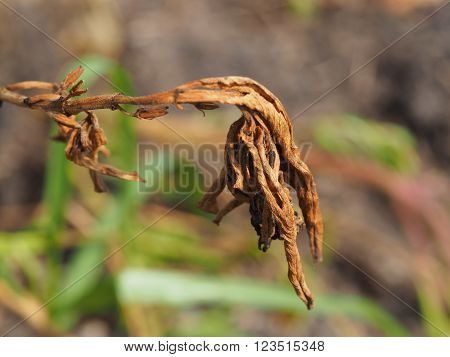 Close Up Of Isolated Wilted Flower Background