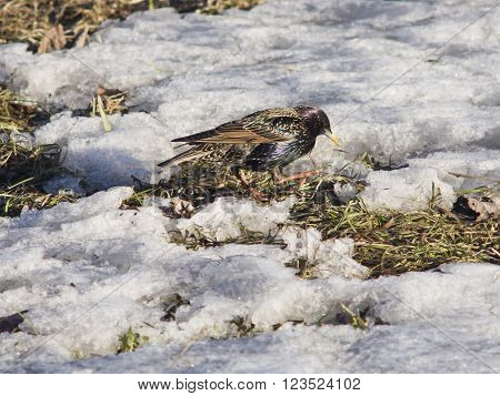Common starling sturnus vulgaris walking in old grass with snow selective focus