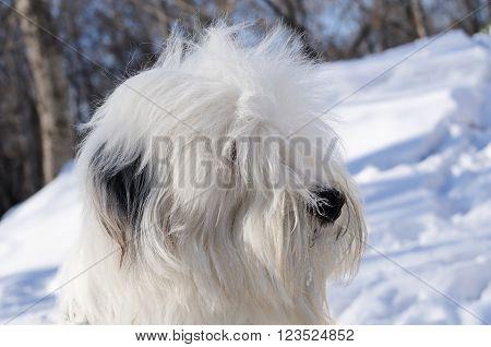 Pedigree Bobtail dog portrait over winter blurry background