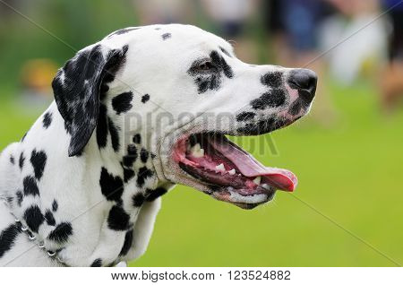 Dalmatian dog outdoors portrait over summer blurry background