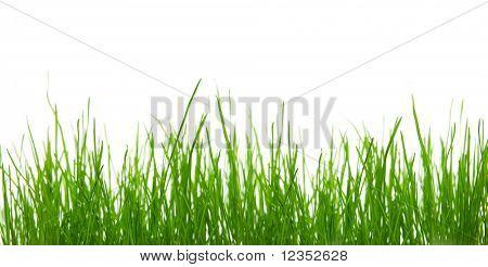 Green grass against white background
