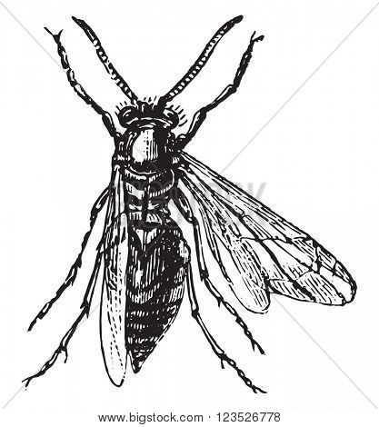 Wood wasp, vintage engraved illustration. Magasin Pittoresque 1870.