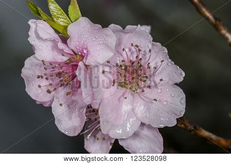 Beautiful peach blossoms with rain droplets