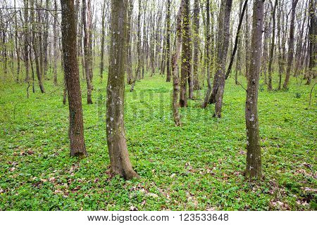 Landscape with a beautiful hornbeam forest in the spring