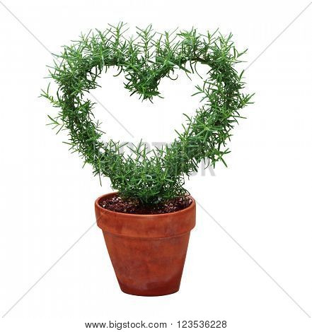 Hearted shape plant in a pot isolated on white background