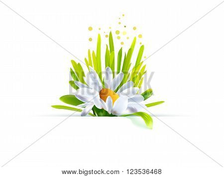 Summer time design. Spring background with grass, chamomile. Vector illustration for the season specific design. Chamomile with grass. Floral background. Natural and eco friendly element. Summertime