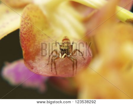A macro headshot of a jumping spider on orchid flower(aerides sp.). Shallow depth of field focus on eye.