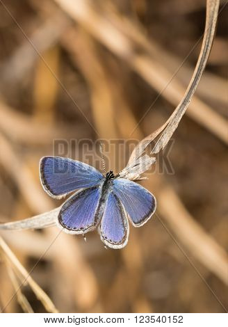 Dorsal view of a tiny Eastern Tailed Blue butterfly resting on a dry blade of grass in spring sun