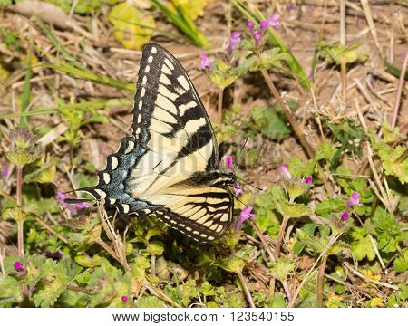 Dorsal view of an Eastern Tiger Swallowtail butterfly feeding on pink Henbit flowers