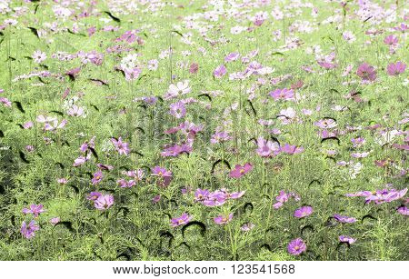 Pink Color Of Cosmos Flower Field On Waterdrop On Glass Texture Background.