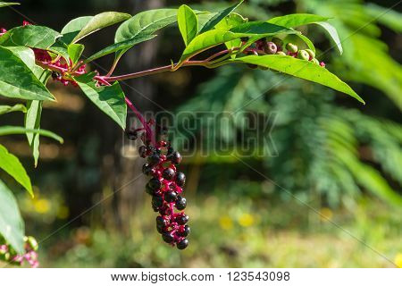 Black berries on a red branch with green leaves in the Sochi Park-the arboretum.