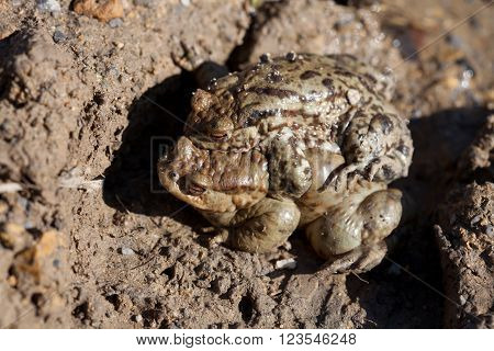 Two toads in the spring of sex