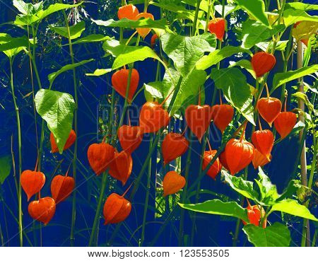 Chinese lantern with numerous orange blossoms in front of a blue garden fence