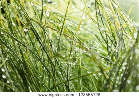 background of dew drops on green grass