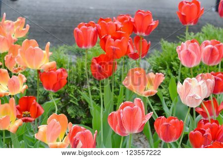 Tulip. colorful tulips. tulips in spring, colourful tulip