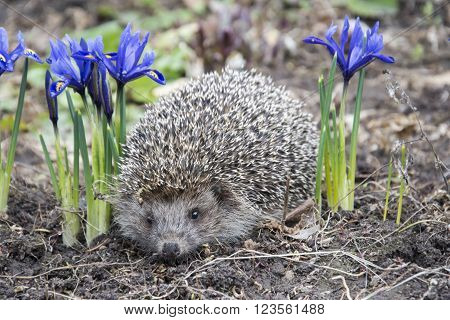 Spring day in the garden hedgehog near purple flowers irises.
