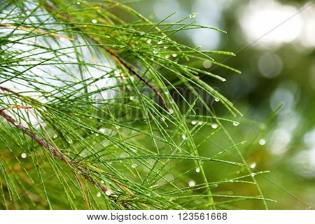 Natural background with pinetree branches. Raindrops on pine needles.