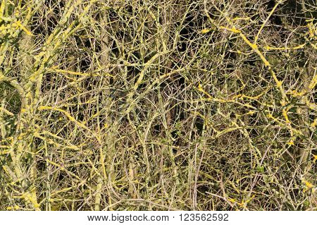 natural full frame background showing lots of twigs at early spring time