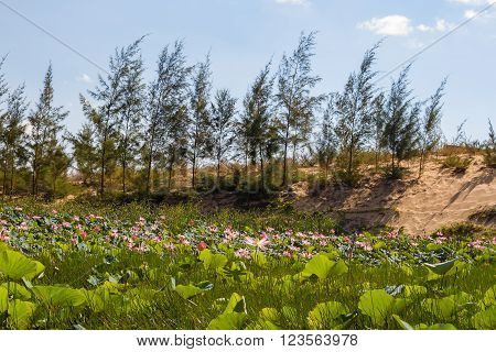 Lake of lotuses at White Sand Dunes - bau sen bau trang it's one of best destinations near Mui Ne Binh Thuan. Vietnam.