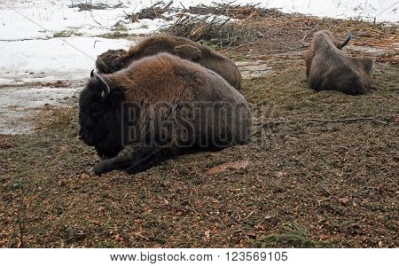 Three brown bison resting on thawed patch
