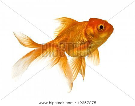 Goldfisch, isolated on white background