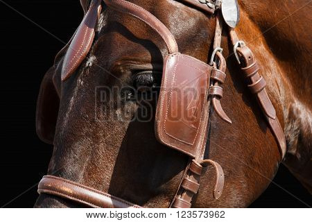 Horse head in bridle close. The sight of a horse. Horse isolated on black. Thoroughbred horse chestnut suit.