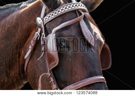Face horse in bridle close, sight of a horse. Horse isolated on black. Thoroughbred horse chestnut suit.