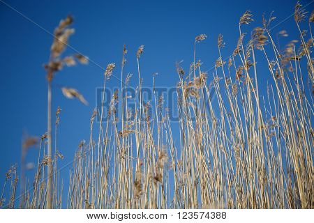 Spikes grass sedge dry on the background of blue sky. The grass stems in winter snow frosty morning.