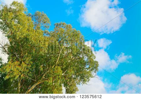 eucalyptus tree seen from below on a cloudy day