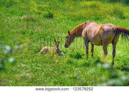 foal and mare in a green field in the springtime