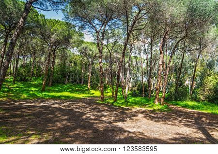 pine trees in a pinewood in Sardinia