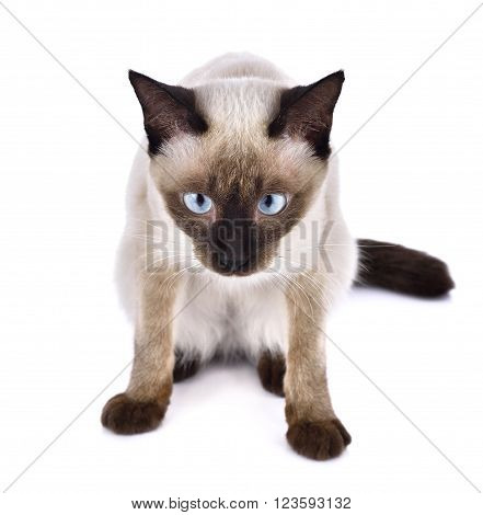 Portrait of brown cat isolated on white background