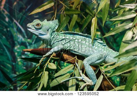 Common basilisk or Basiliscus basiliscus sitting on a branch