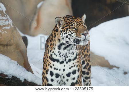 leopard or Panthera pardus closeup winter portrait