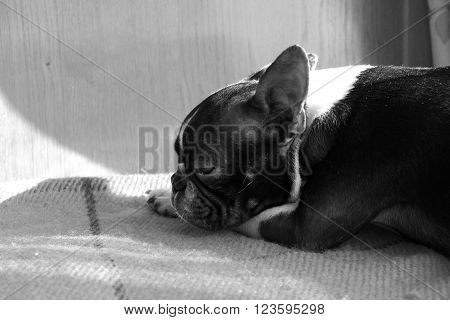 Little boston terrier lying in the sun rays black and white. Little dog resting in black and white. Sweet little dog sleeping at home. Cute dog in black and white.
