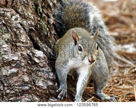 Eastern Gray Squirrel cautiously staying near tree