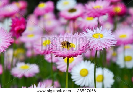 Pink and white daisies with a yellow stamen, green stems and a bee pollinating.