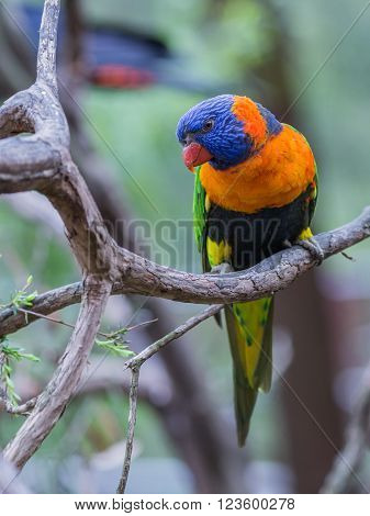 Beautiful unusual Coconut Lorikeet parrot with green wings a red breast blue head and red beak sitting on a branch on a green background