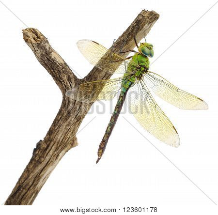 closeup of big green dragonfly over white