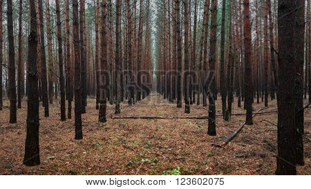 Forest With Mysterious Man Walking On A Path Halloween Theme