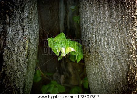 From the old tree (stump, trunk), growing spring leaves