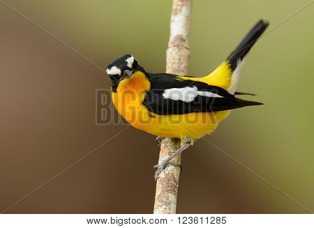 beautiful male Yellow-rumped Flycatcher (Ficedula zanthopygia) standing on branch