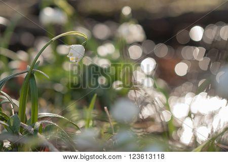 Leucojum Vernum, Spring Flower In Nature Reserve