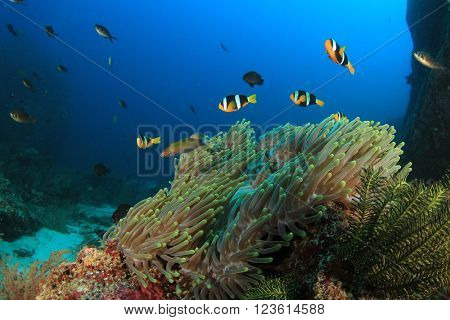 Coral reef and anemone with Clarke's Anemonefish