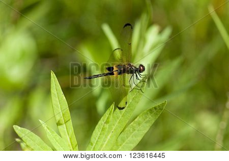 Yellow-barred Flutterer dragonfly is on a leaf