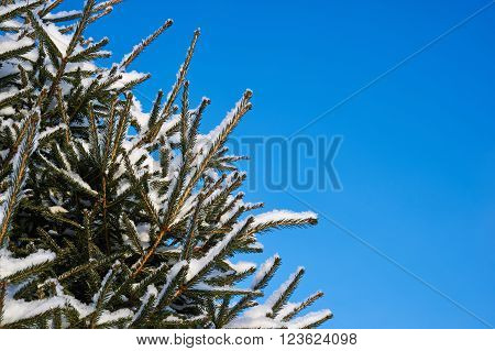Branches Of Spruce Under Snow On Blue Sky