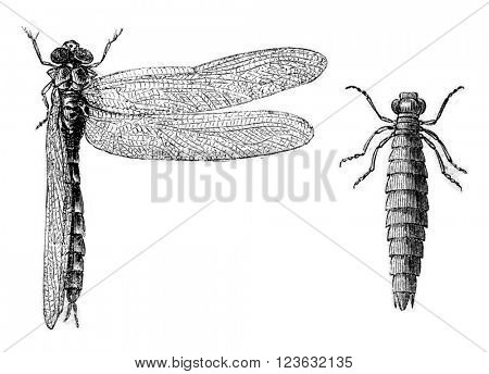 Fig 9. Depressed dragonfly, Fig 10. Debased dragonfly larva, vintage engraved illustration. Magasin Pittoresque 1870.