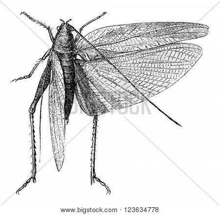 Green grasshopper, vintage engraved illustration. Magasin Pittoresque 1870.